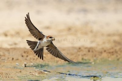 Fairy Martin - In flight (Petrochelidon ariel)