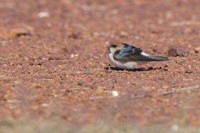 Fairy Martin (Petrochelidon ariel) - Tennant Creek