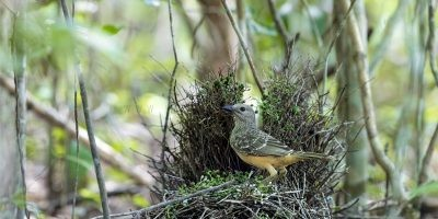 Fawn-breasted Bowerbird Panoramic (Ptilonorhynchus cerviniventris)