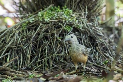Fawn-breasted Bowerbird (Ptilonorhynchus cerviniventris)