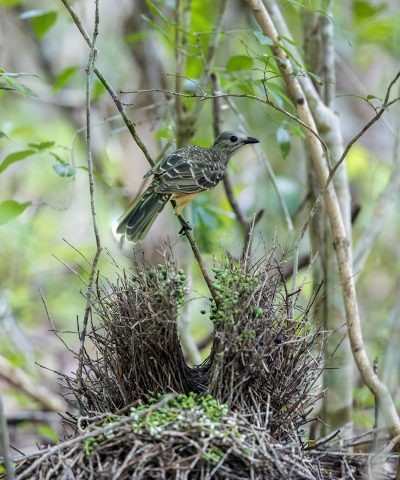 Fawn-breasted Bowerbird - Vertical (Ptilonorhynchus cerviniventris)