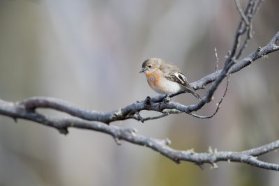 Flame Robin - Female (Petroica phoenicea)