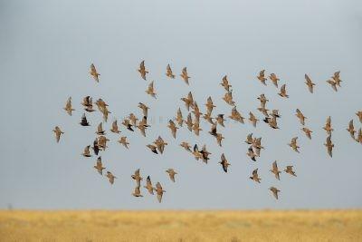 Flock Bronzewing - Flock