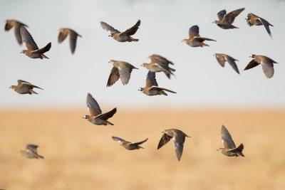 Flock Bronzewing - Flock (Phaps histrionica)1