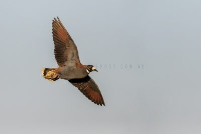 Flock Bronzewing - Male in flight