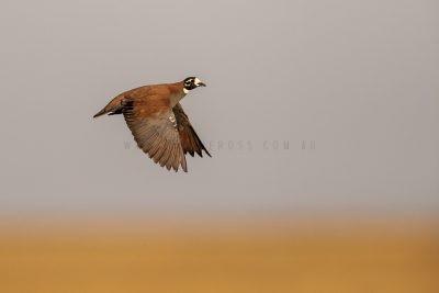 Flock Bronzewing - Male in flight.