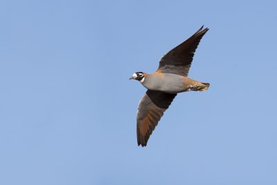 Flock Bronzewing - Male in flight (Phaps histrionica)