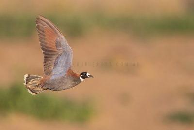 Flock Bronzewing - Male in flight.2
