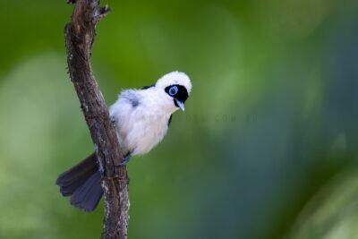 Frill-necked Monarch - Male