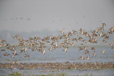 Garganey Flock (Anas querquedula)