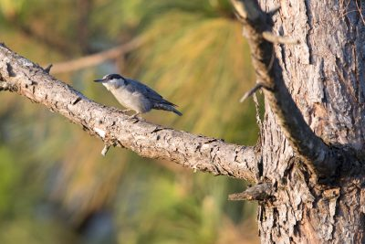 Giant Nuthatch (Sitta magna).