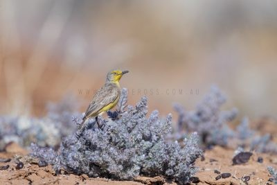 Gibberbird (Ashbyia lovensis)