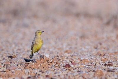 Gibberbird (Ashbyia lovensis).1