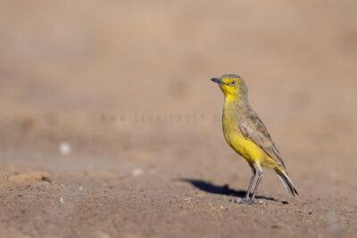 Gibberbird.3