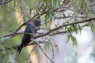 Glossy Black-cockatoo - Male (Calyptorhynchus lathami erebus)