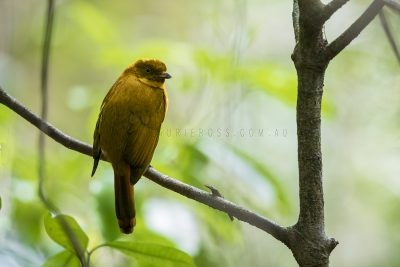 Golden Bowerbird - Male (Amblyornis newtoniana).1.jpg