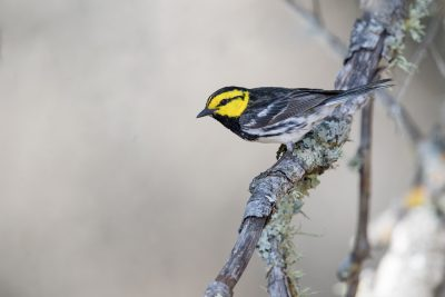 Golden-cheeked Warbler (Setophaga chrysoparia).