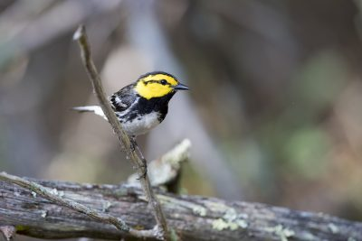 Golden-cheeked Warbler (Setophaga chrysoparia)2