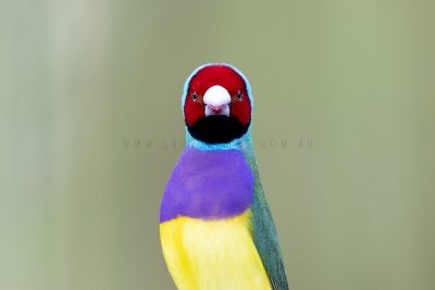 Gouldian Finch - Profile
