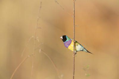 Gouldian Finch - Black-faced Male