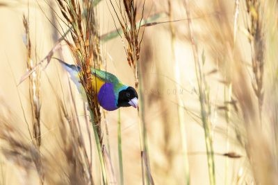Gouldian Finch - Black-faced Male Feeding