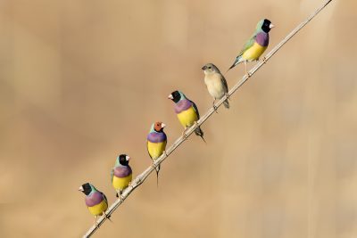 Waxbills and allies