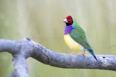 Gouldian Finch - Male