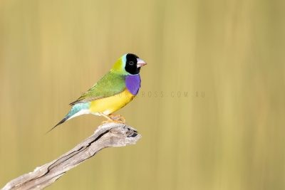 Gouldian Finch - Male Black-faced.0