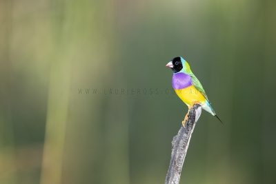 Gouldian Finch - Male Black-faced.3