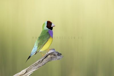 Gouldian Finch - Male Red-faced.