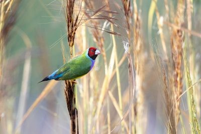 Gouldian Finch - Male Red-faced Feeding