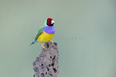 Gouldian Finch - Male Red-faced on Termite Mound.