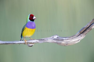 Gouldian Finch - Male Red-faced.2