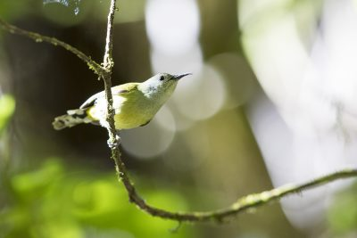Gould's Sunbird - Female (Aethopyga gouldiae)