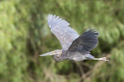 Great-billed Heron - In Flight (Ardea sumatrana).