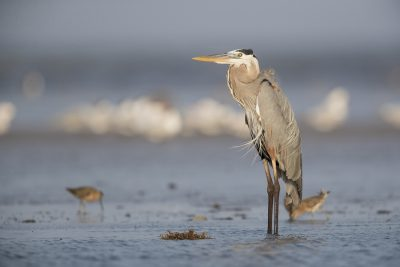 Great Blue Heron (Ardea herodias)1