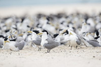 Great-crested Terns (Thalasseus bergii cristata)