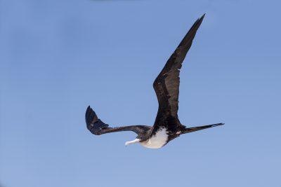 Great Frigatebird - In Flight (Fregata minor)