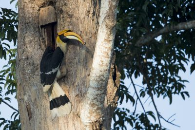 Great Hornbill - Nesting (Buceros bicornis)