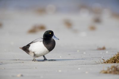 Greater Scaup - Male (Aythya marila)