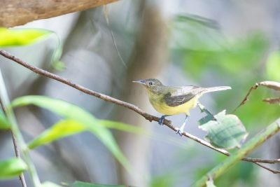 Green-backed Honeyeater
