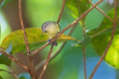 Green-backed Honeyeater (Glycichaera fallax claudi).1