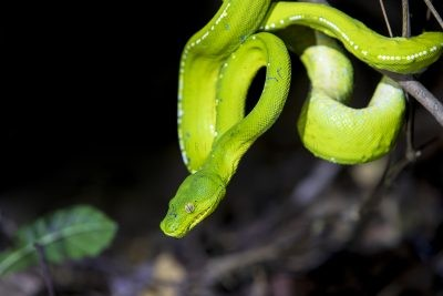 Green Tree Python - Profile.1