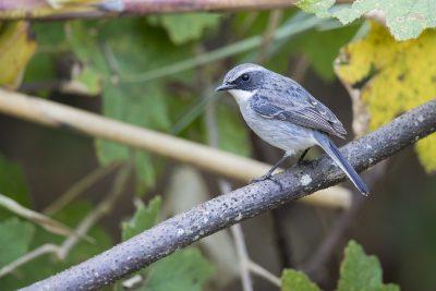 Grey Bushchat - Male (Saxicola ferreus)