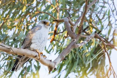 Grey Falcon - Male (Falco hypoleucos)