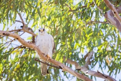 Grey Falcon - Male (Falco hypoleucos)1