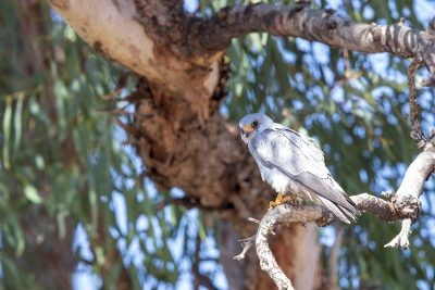 Grey Falcon - Male (Falco hypoleucos)2
