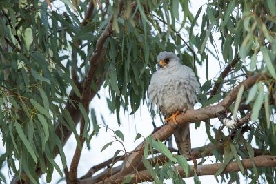 Grey Falcon - Male (Falco hypoleucos)3