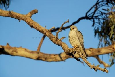 Grey Falcon - Male (Falco hypoleucos)4