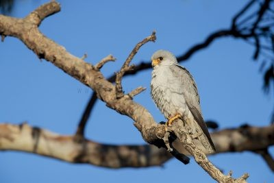 Grey Falcon - Male (Falco hypoleucos)7